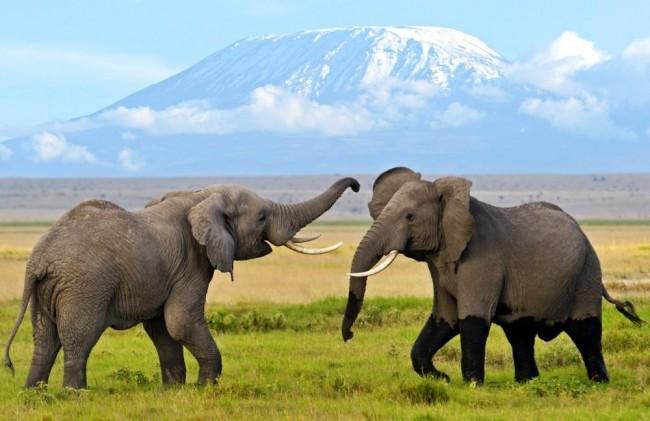 elephants-in-amboseli